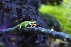 饥饿的蜥蜴 库存照片