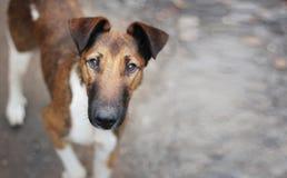 饥饿的逗人喜爱的棕色狗看照相机,请求食物,抱怨 库存图片