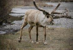 饥饿的饥饿的北美驯鹿 免版税库存图片