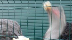 饥饿的驼鸟在动物园哺养了用面包通过笼子由访客 影视素材
