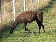 饥饿的骆马 免版税库存图片