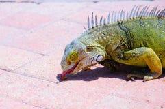 饥饿的鬣鳞蜥 图库摄影