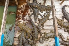 饥饿的鳄鱼在农场从水等待的食物出来 免版税库存照片