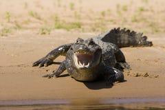 饥饿的鳄鱼 免版税图库摄影