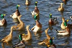 饥饿的鸭子 库存照片