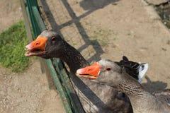 饥饿的鹅在动物园里 库存照片