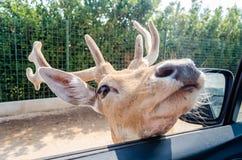 饥饿的鹿等待的食物通过车窗 免版税库存图片