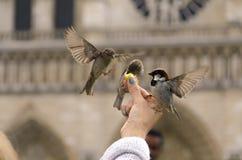 饥饿的麻雀在巴黎 免版税图库摄影