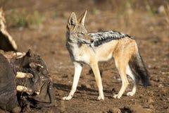 饥饿的黑色支持寻找食物的狐狼在河马尸体 免版税图库摄影