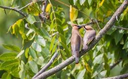 饥饿的黄连雀Bombycilla Cedrorum雏鸟从父母得到食物 免版税库存照片