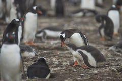 饥饿的Gentoo企鹅小鸡和成人在布里克岛 免版税库存照片