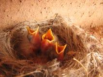 饥饿3只的幼鸟 库存图片