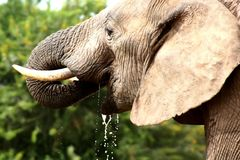 饮料大象水 免版税库存照片