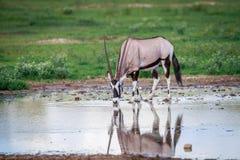 饮用的大羚羊 免版税库存照片