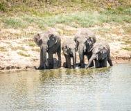 饮用的大象在克留格尔国家公园,南非 免版税库存照片
