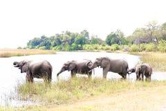 饮用的大象在博茨瓦纳,非洲 免版税库存照片