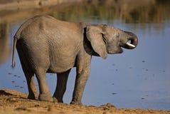 饮用的大象女性 免版税库存图片