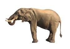饮用的大象查出 免版税库存图片