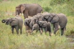 饮用的大象牧群在克留格尔国家公园 免版税库存图片