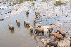 饮用的大象聚集水 免版税图库摄影