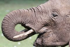 饮用的大象水 免版税库存照片