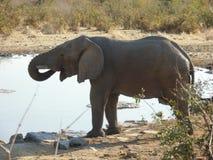 饮用的大象水 库存照片