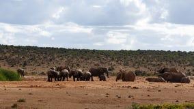 饮用的天-非洲人布什大象 免版税库存照片
