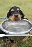 饮用的小狗 免版税库存图片