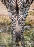 饮用的斑马 免版税库存图片