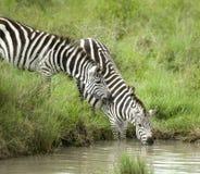 饮用的斑马 免版税库存照片