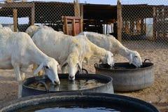 饮用的母羊和平水 图库摄影