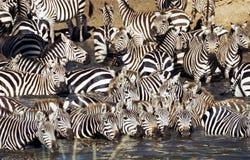 饮用的牧群serengeti斑马 免版税库存图片
