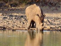 饮用的犀牛 库存照片