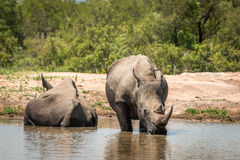 饮用的白色犀牛在克留格尔国家公园,南非 免版税库存图片