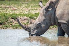 饮用的白色犀牛 库存图片