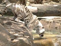 饮用的老虎白色 库存照片