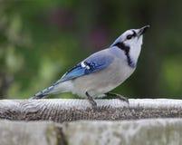 饮用的蓝色尖嘴鸟 库存照片