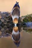 饮用的蜡嘴鸟 图库摄影