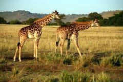 饮用的长颈鹿肯尼亚 库存图片