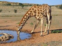 饮用的长颈鹿 免版税库存图片