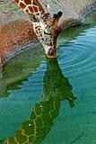 饮用的长颈鹿 库存照片