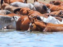 饮用的阿拉伯牧群在湖。 免版税库存照片