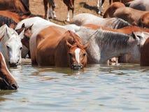 饮用的阿拉伯牧群在湖。 库存图片