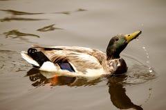 饮用的鸭子 库存照片