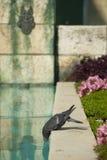 饮用的鸽子 免版税图库摄影