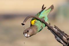 饮用的鹦鹉 免版税库存图片