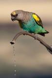 饮用的鹦鹉 免版税图库摄影