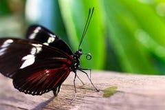 饮用的蝴蝶 免版税库存照片