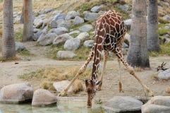 饮用的giraff 免版税库存照片
