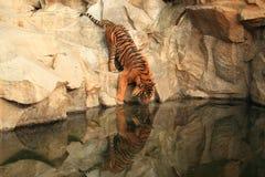 饮用的sumatran老虎 图库摄影